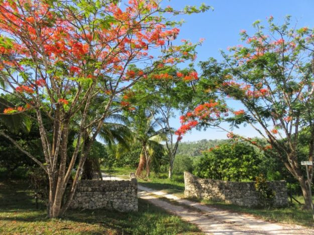 Flamboyant Trees Cayo Belize