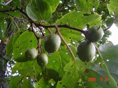 さるなし(サルナシ)栽培、サルナシの育て方