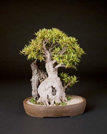 You are currently viewing 2008 Bonsai Show