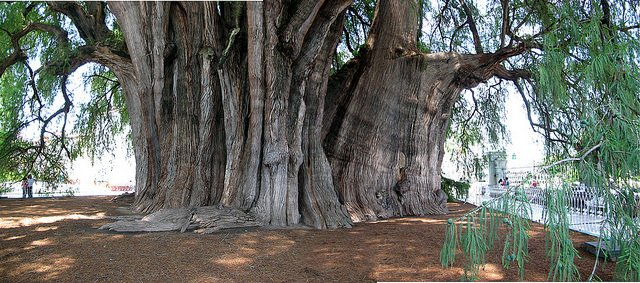 Giant Montezuma Cypress near Oaxaca, Mexico