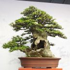 hollowed trunk bonsai