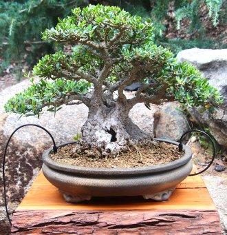 Informal Upright Olive