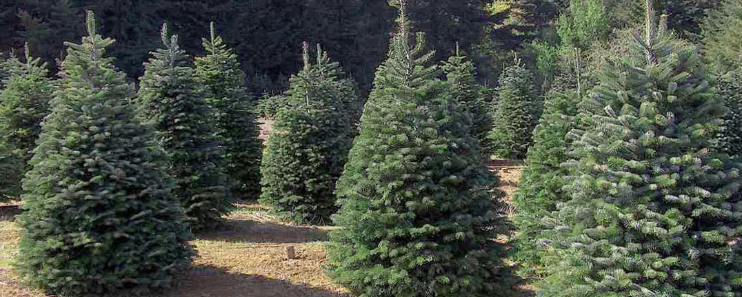 Nordmann Christmas Tree Field