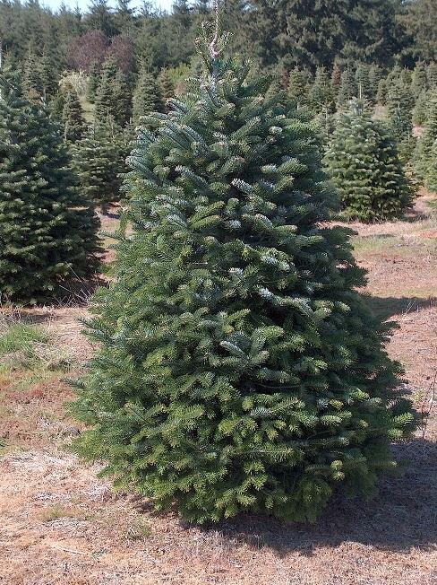 Nordmann Fir Christmas Tree 5