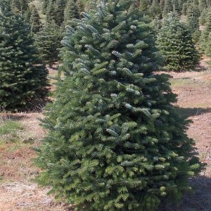 Nordmann Fir Christmas Tree 5