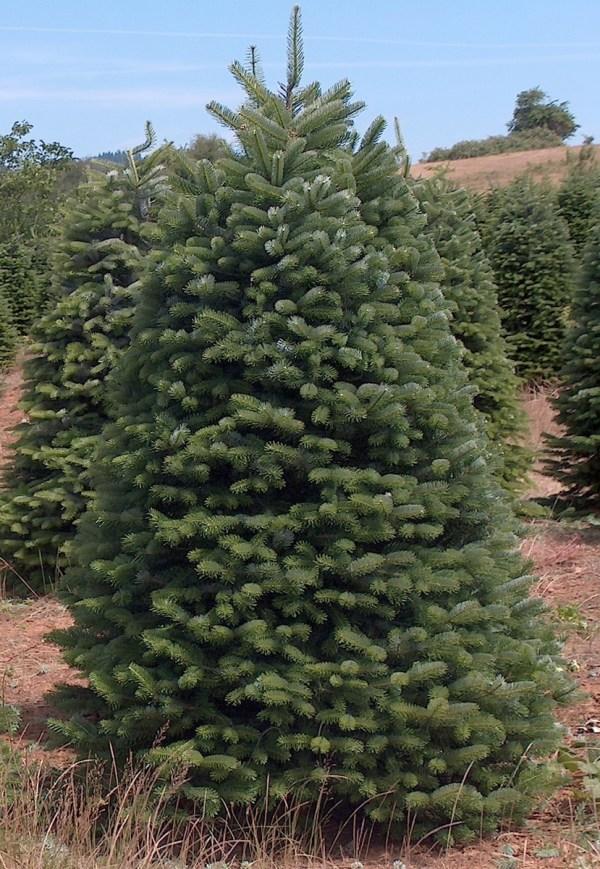 Nordmann Fir Christmas Tree 7
