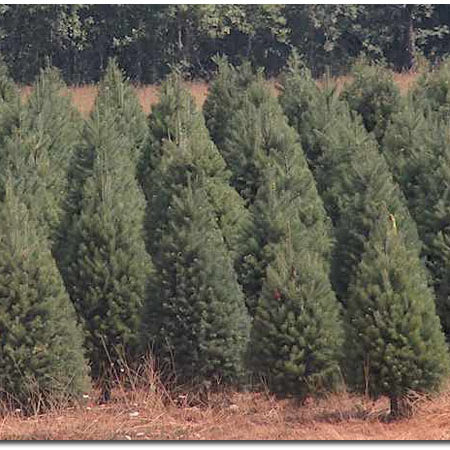 Douglas Fir Christmas Tree Field
