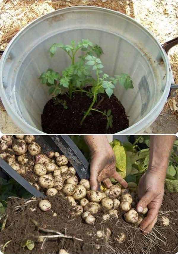 comment-faire-pousser-pommes-de-terre-tonneau