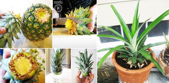 Comment faire pousser facilement un ananas partir d un autre la soci t solidaire et durable - Comment faire pousser un ananas ...