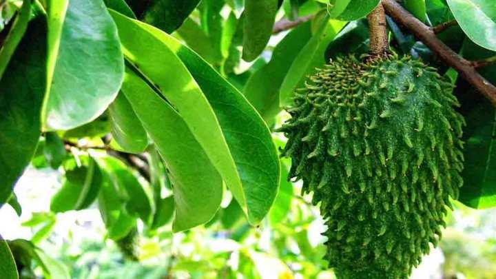 Feuilles de corossol: avantages, comment les utiliser et effets secondaires