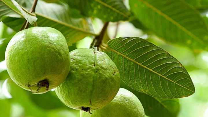 Les avantages des feuilles de goyave pour la fertilité masculine et féminine