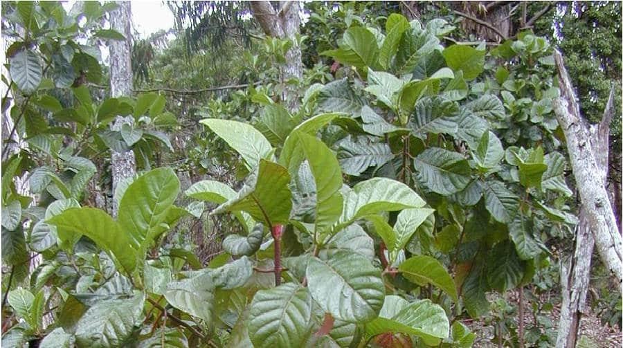 Chloroquine : une molécule d'origine naturelle que l'on doit aux arbres
