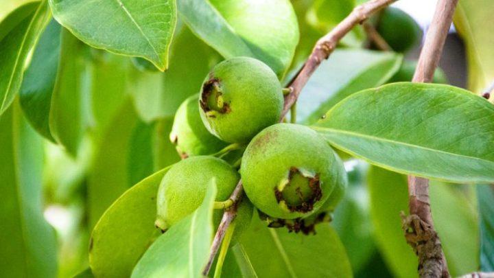 Avantages des feuilles de goyave, du traitement de la diarrhée au cancer