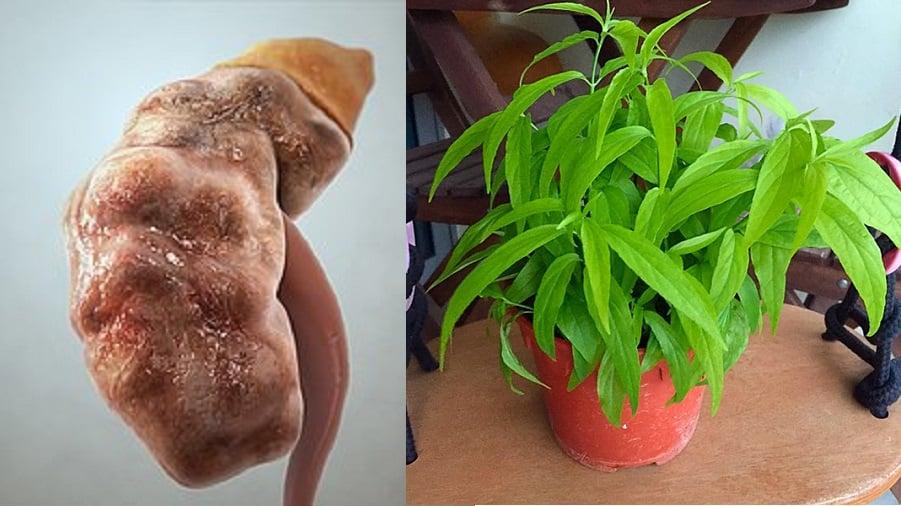 Une plante simple guérit son insuffisance rénale