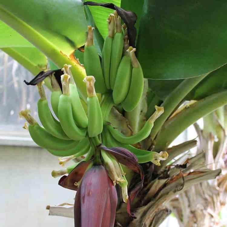 Les fruits de Musa nana