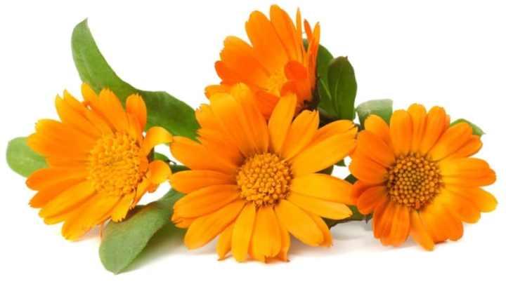 Avantages et utilisations du calendula pour la peau, les piqûres d'insectes, la lutte contre le cancer et plus