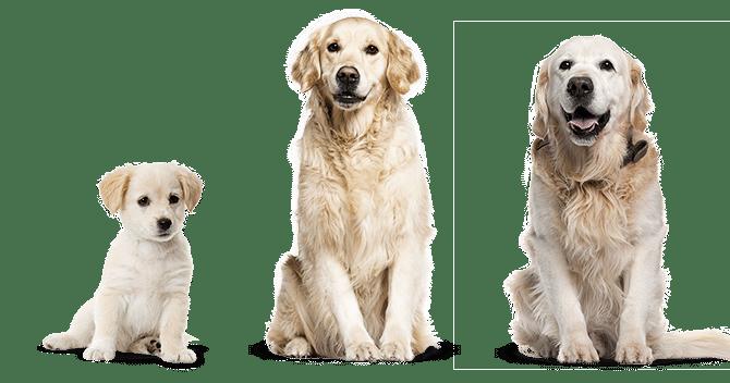 Chiot contre chien adulte: un chien plus âgé vous conviendrait-il mieux?