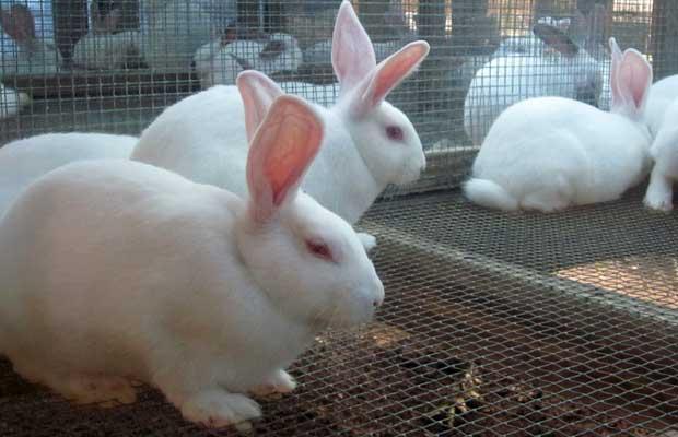 Pourquoi vous devriez élever des lapins