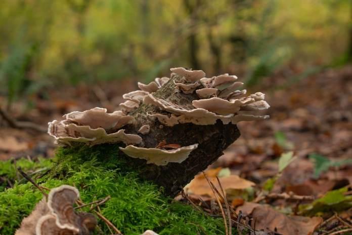 queue de dinde champignon