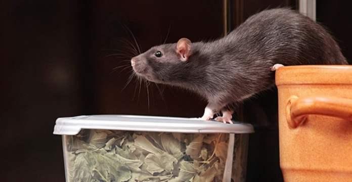 odeur qui chassent les souris