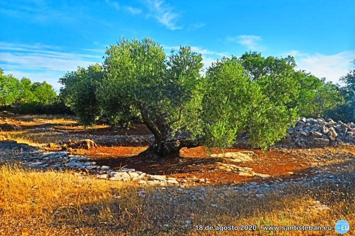 Una oliva en el Cerro San Marcos