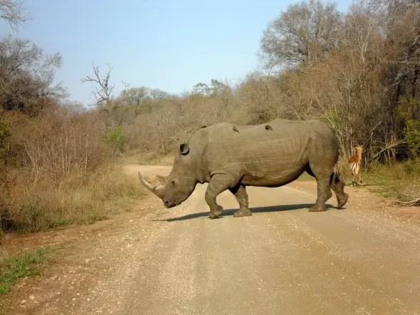 Walking among rhinos in Kruger National Park