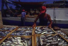 Italia . Casse di pesce sbarcate nel porto di Cesenatico, sulla costa romagnola.De Agostini Picture Library/G. P. Cavallero