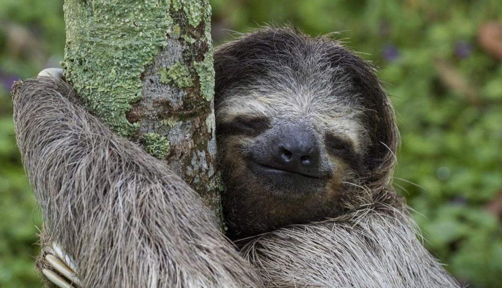 Un esemplare di bradipo