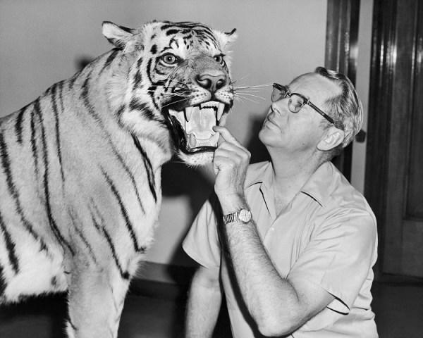 Lo zoologo Wilmer W. Tanner con una tigre sottoposta a tassidermia