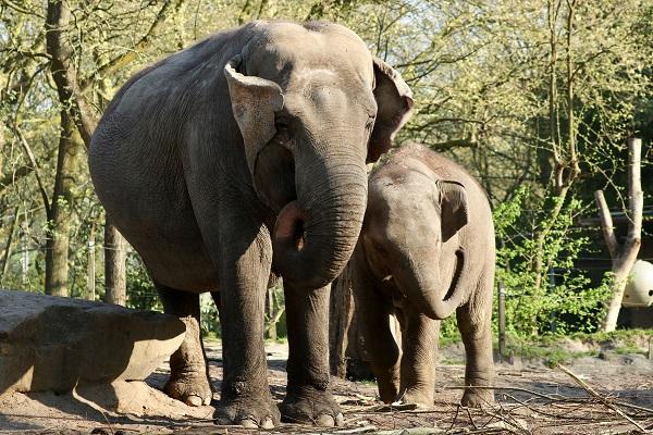 Elefanti, grandi animali