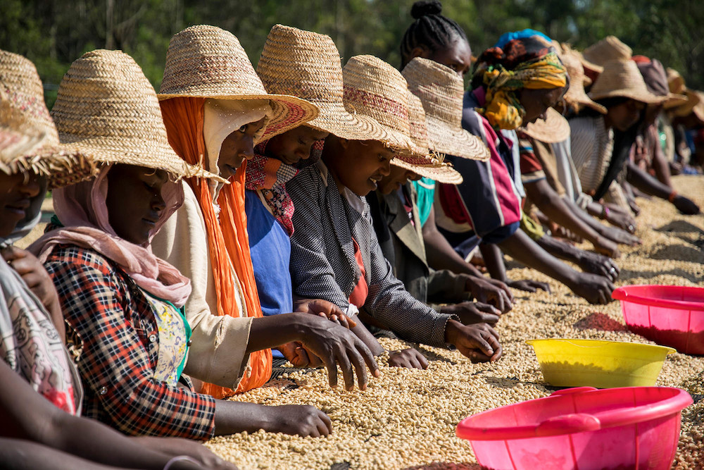 Farmers in Ethiopia work together to sort coffee beans.