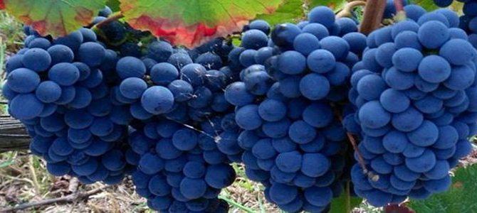 Os Tipos de Uvas Tintas