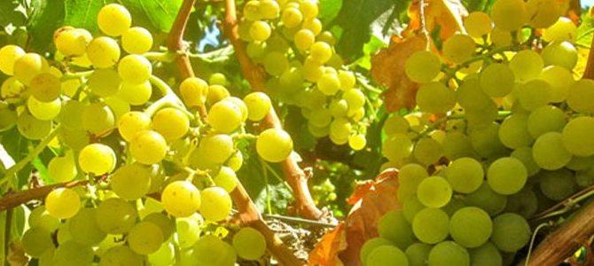 Moscatel uma uva fácil de ser reconhecida