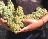 Vino, in Veneto -10% di produzione ma la qualità è ottima