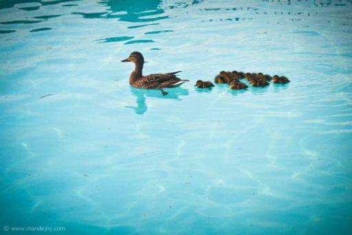 Ducks MJ