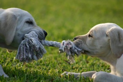 two dogs playing tug of war with a rope. Representing the needless struggle in the hard work myth.