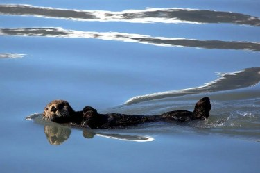 Otter floating peacefully in water. What if the hard work myth is lie and going with the flow instead of against it is how to achieve our goals?
