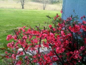 quince shrub