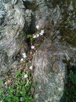 spring beauties and tree roots