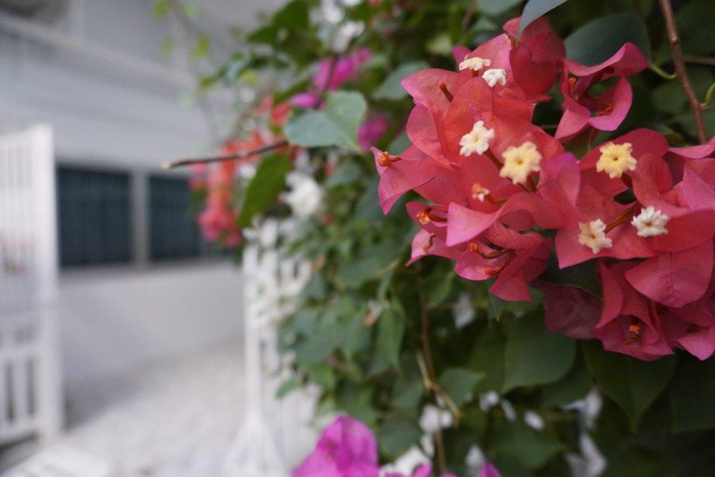 Closeup of pink flowers, Koh Phi Phi Don, Thailand