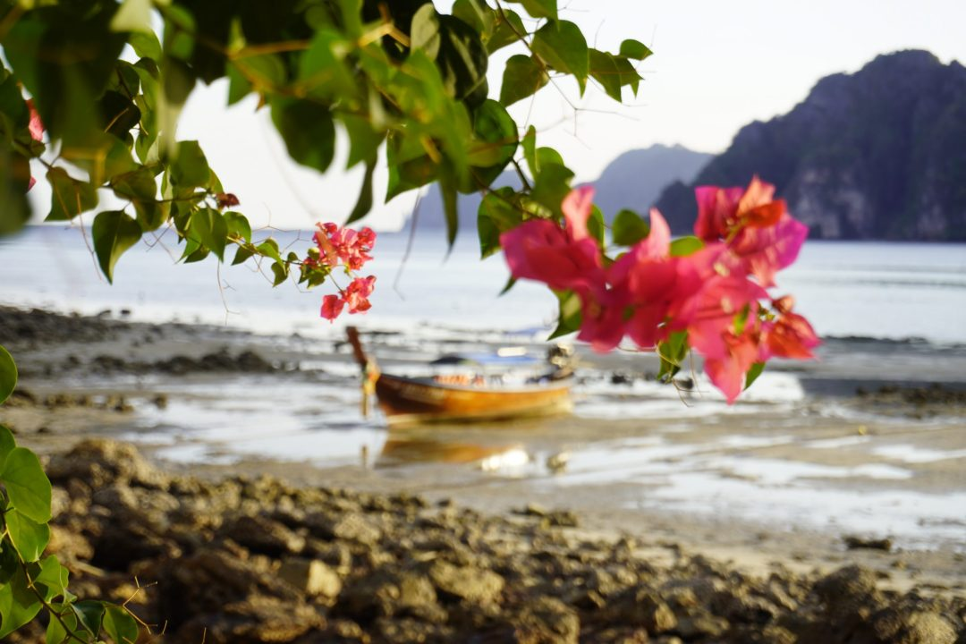 Closeup of pink flowers with taxi longboat and beach in the background, taken on Koh Phi Phi Don, Thailand