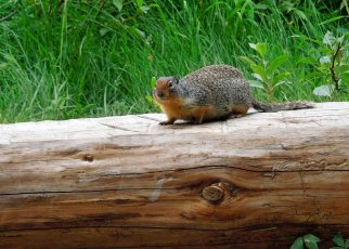 Ground squirrel joining us for breakfast