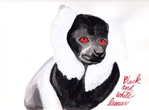 black and white lemur_web