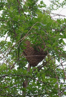 bee-swarm-in-tree
