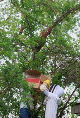 catching-a-bee-swarm