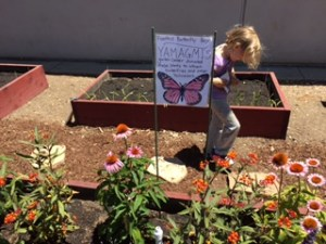 An incoming kindergartner walks between raised garden boxes in the Foothill Kindergarten garden. In the foreground are flowers that attract butterflies.