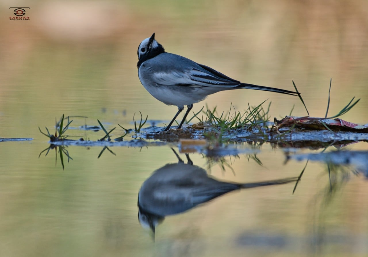 White Wigtail