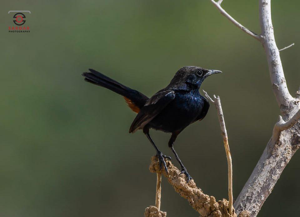 Indian Robin (Male)
