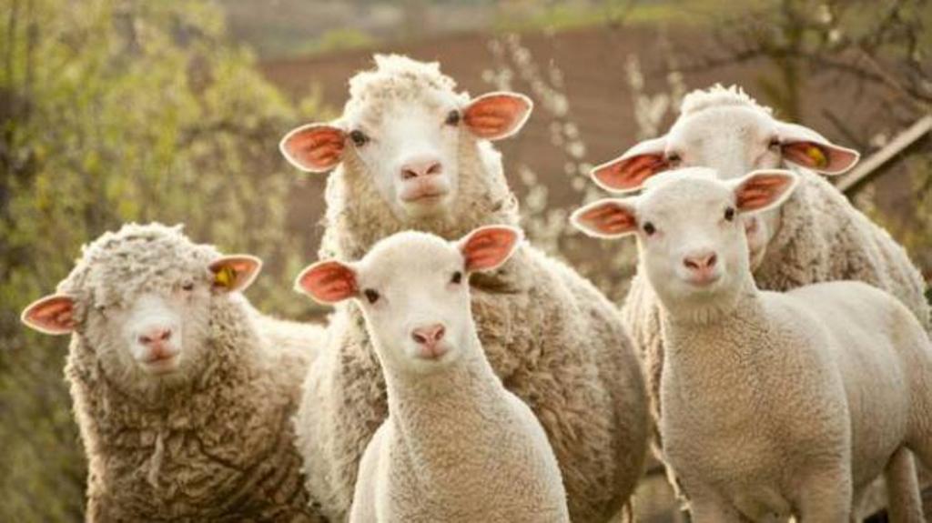 Personaggio del giorno: Una vita da pecora (di Giampaolo Cassitta)