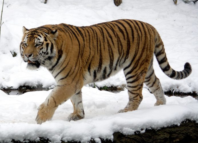 Personaggio del giorno: Filippa la tigre (di Luca Ronchi)